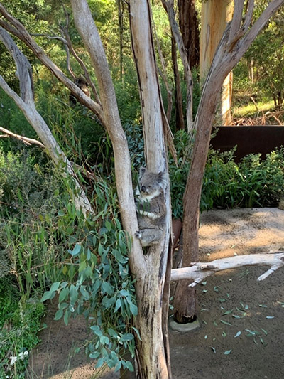 Seeing wildlife, like koalas, on the University of the Sunshine Coast campus was a normal occurrence for Bikram.